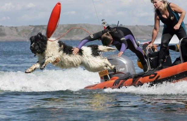 Newfoundland friend dogs